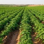 Орбита Агро тепличный комплекс Гвардейск выращивание картофеля