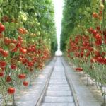 Орбита Агро тепличный комплекс Гвардейск помидоры